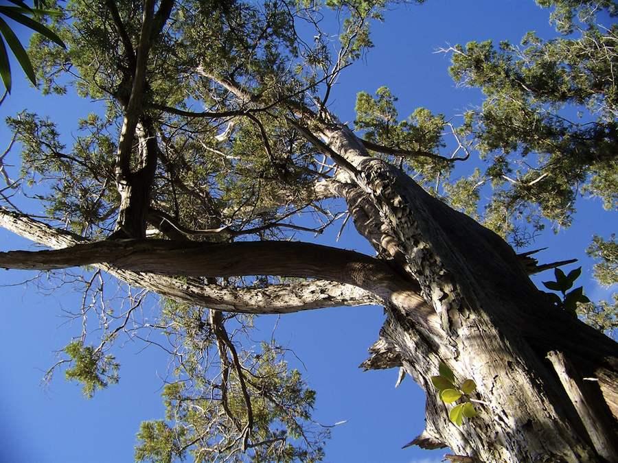 El cedro endémico de Bermudas, los árboles no saben de balances